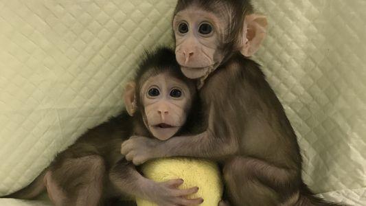 Estos son los primeros monos clonados mediante la técnica con la que se creó a la ...