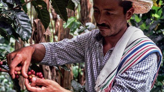 El caficultor de Caquetá Don Fernando siguió cultivando café en una región asolada por el conflicto. ...