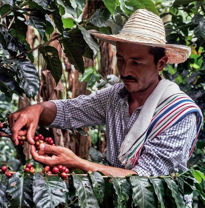 Continúa el resurgimiento del café en Caquetá