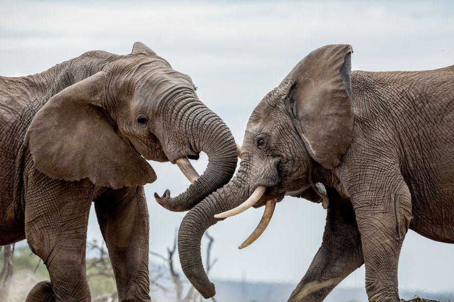 Los elefantes macho del área de conservación Mara Naboisho, en Kenia, combaten con sus colmillos de ...