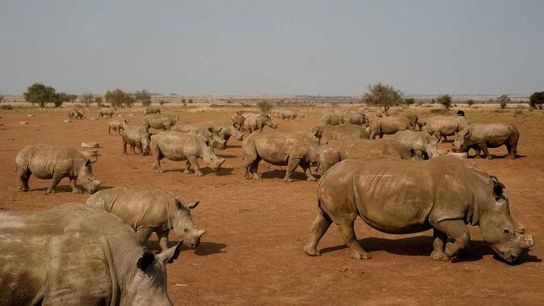 Los rinocerontes comen