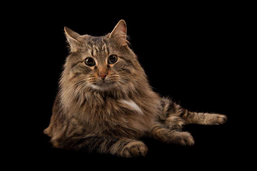 Un gato doméstico llamado Rocket.