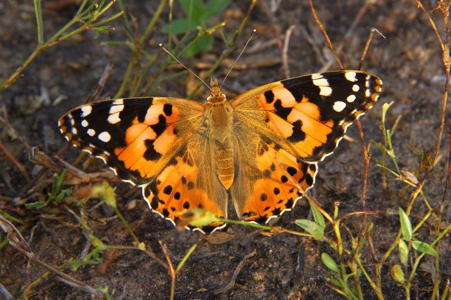 Mariposa Vanesa de los cardos 02
