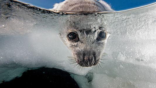 Explora el frágil mundo de las focas de Groenlandia de Quebec