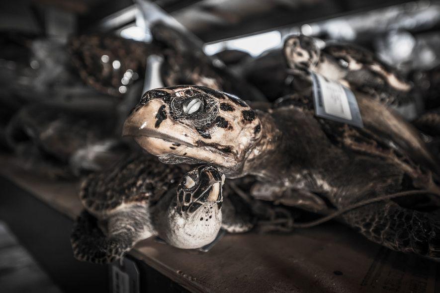 Entre 1844 y 1992, se cazaron casi nueve millones de tortugas carey, según sostienen los investigadores.