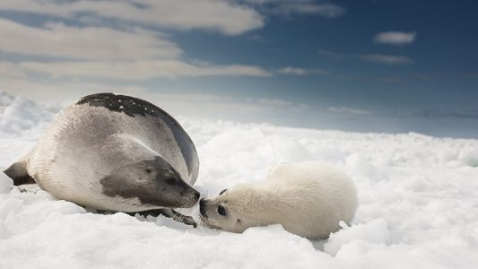 Las focas de Groenlandia