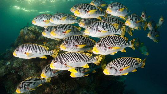 Bancos de peces del género Plectorhinchus