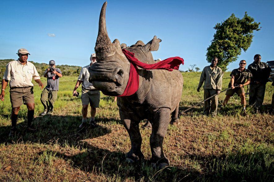 Un rinoceronte blanco del sur es trasladado desde Sudáfrica, una zona con mucha caza furtiva, a ...