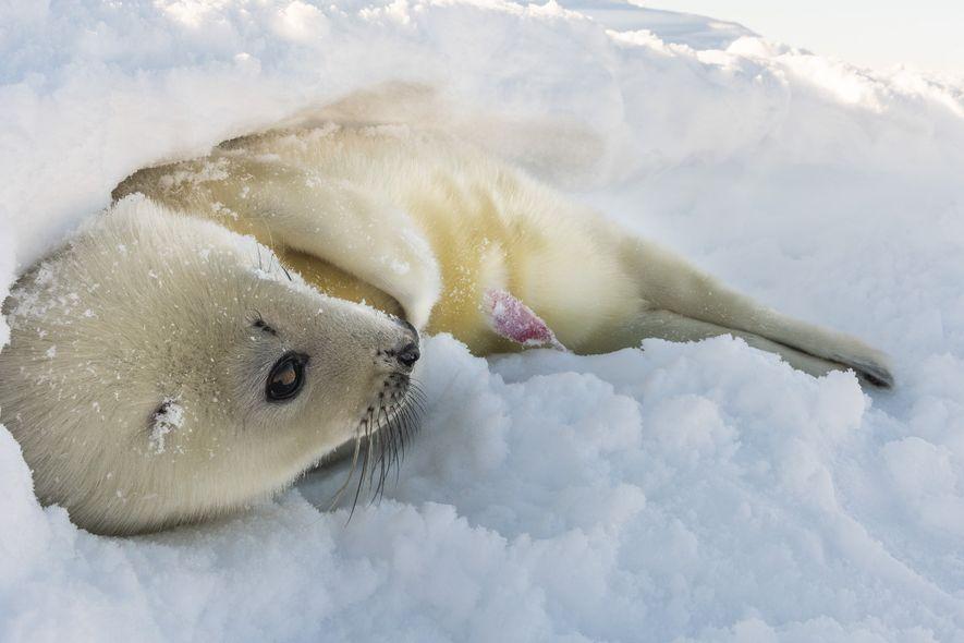 El criadero de focas de Groenlandia del golfo de San Lorenzo, en las islas de la ...