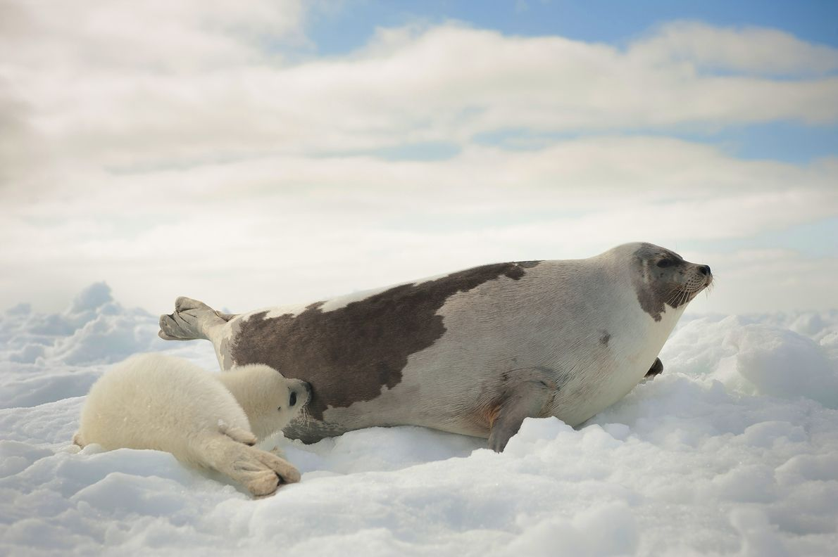 Focas de Groenlandia