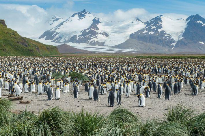 Una colonia de pingüinos rey