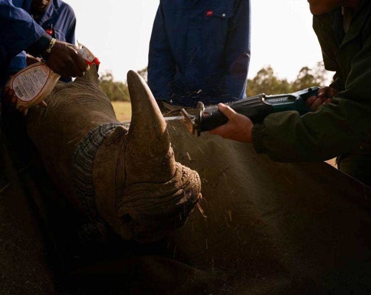 Descorne de un rinoceronte. Desde la prohibición de 2009 de la venta de cuerno de rinoceronte ...