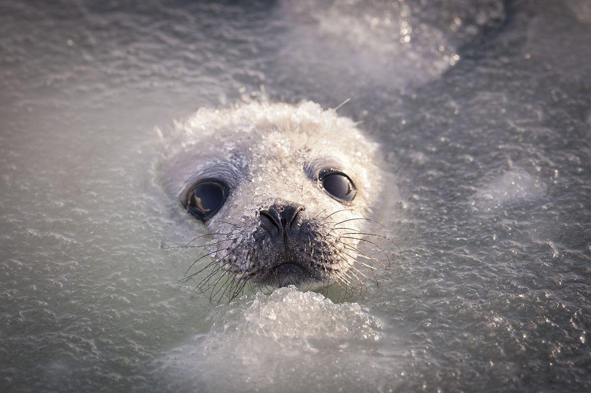 Cría de foca de Groenlandia