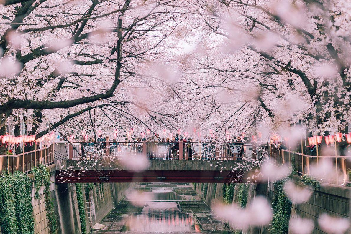 Paseo con cerezos en flor
