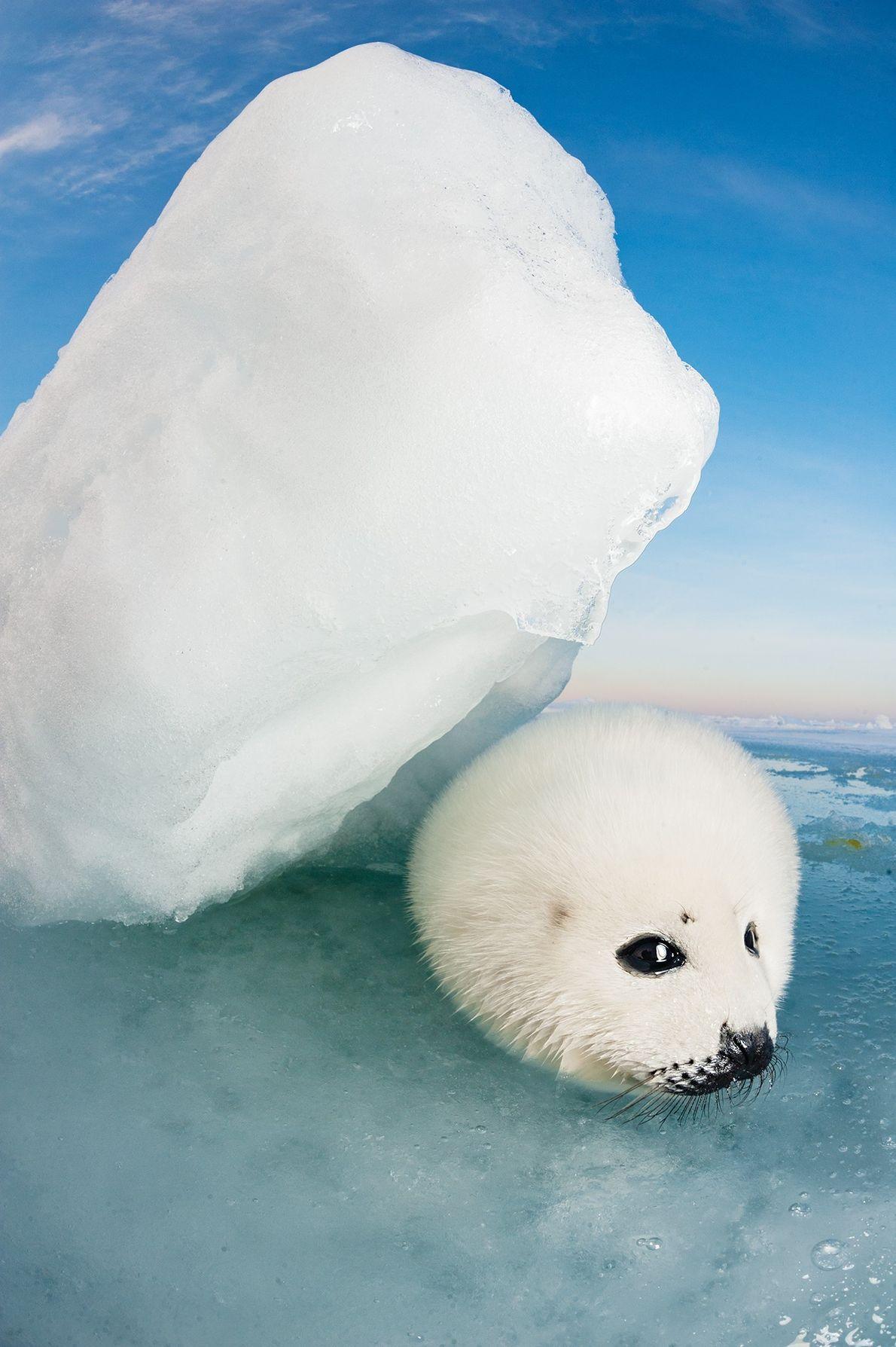Foca de Groenlandia joven