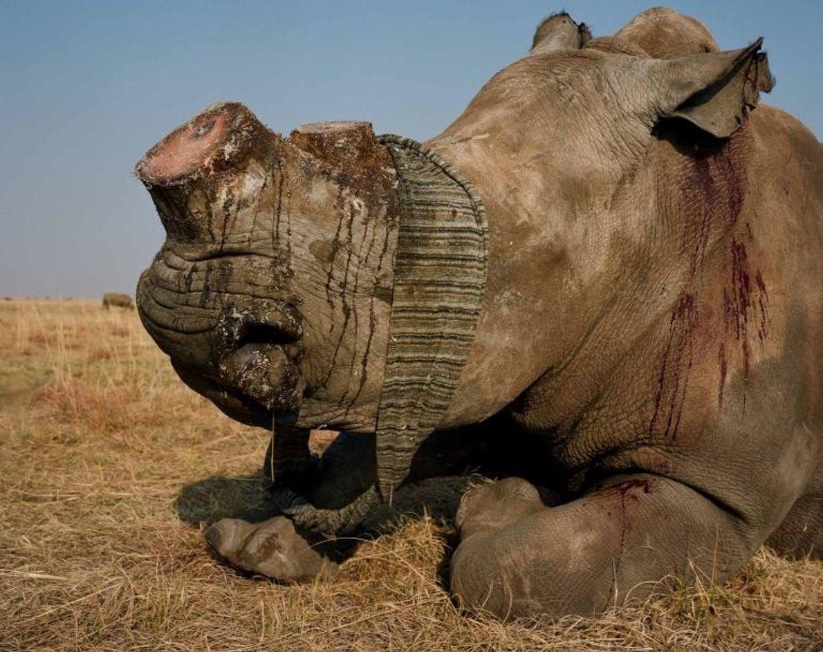 Un rinoceronte blanco con los ojos vendados