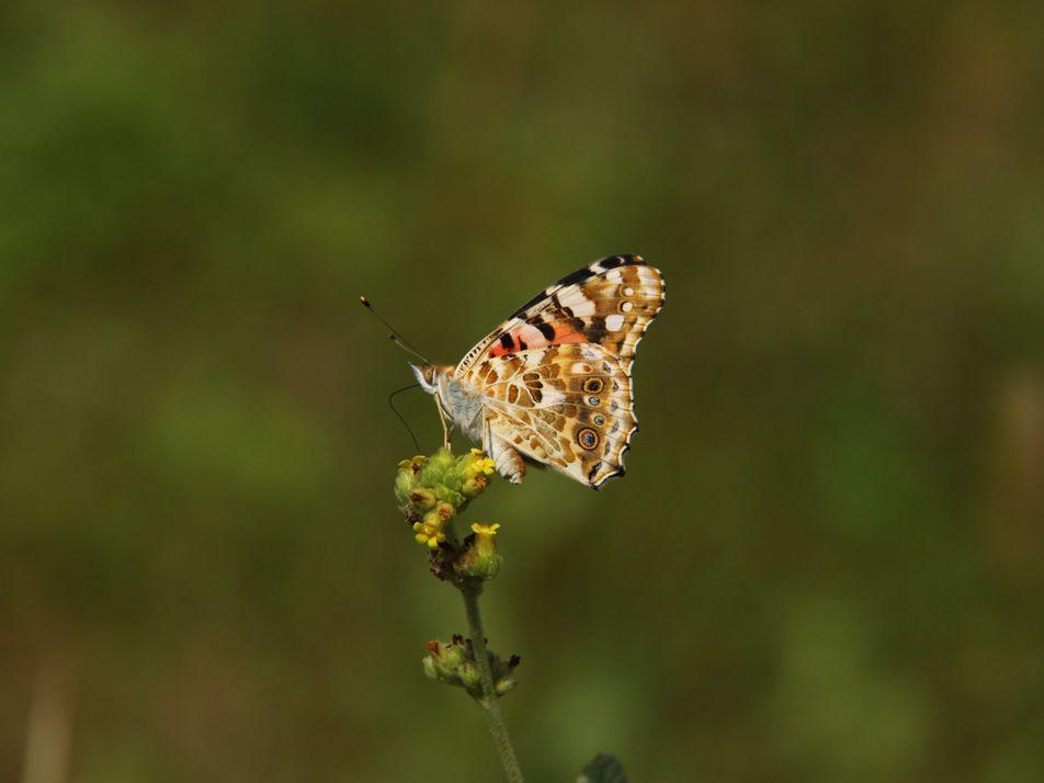 Esta mariposa modifica sus rutas migratorias en busca de las mejores condiciones de supervivencia