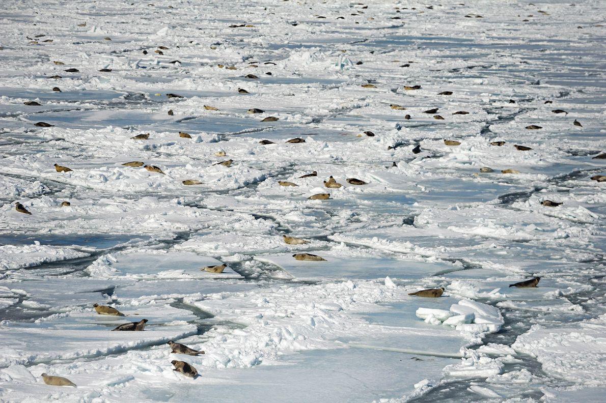Grupo de focas de Groenlandia
