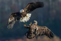 Águilas calvas