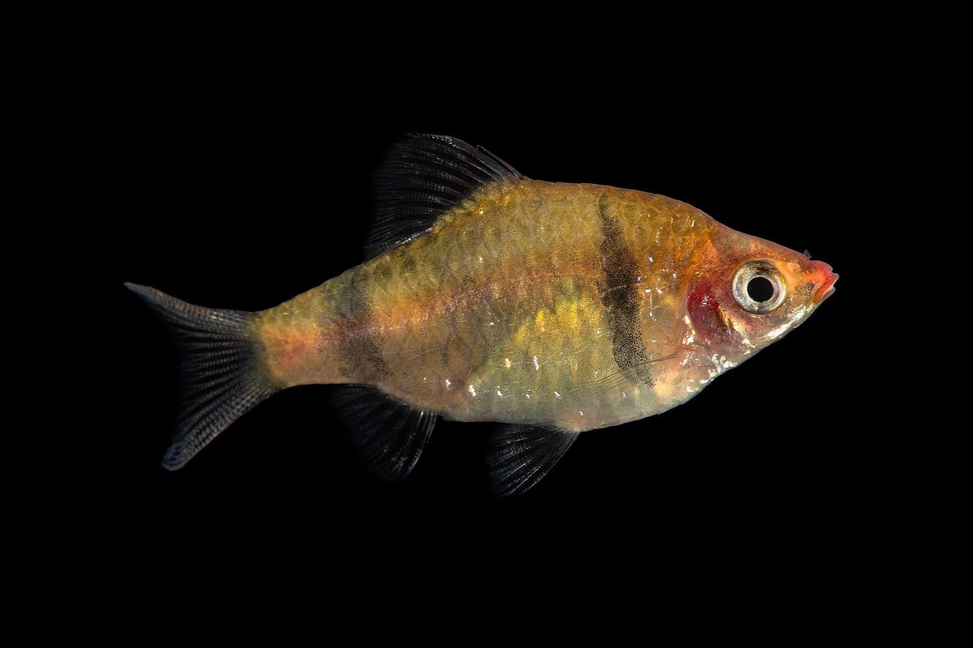 Un Pethia bandula fotografiado en el zoo de Plzeň, República Checa. Este pez de agua dulce está en peligro crítico de extinción y vive en un pequeño tramo de un arroyo en Sri Lanka.