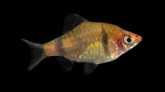 Este colorido pez se ha convertido en el 9.000º animal de Photo Ark