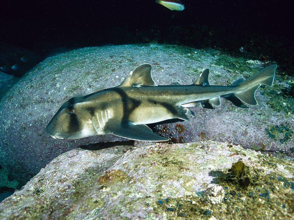 Los tiburones de Port Jackson prefieren el jazz a la música clásica