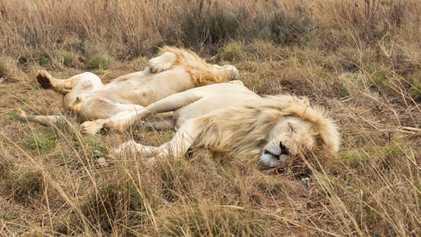 ¿Por qué algunos leones africanos son «blancos»?