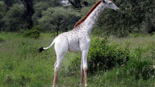 Imágenes: Curiosa jirafa blanca y otros animales extrañamente pálidos