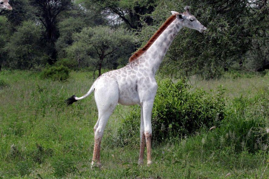 Omo, una cría de jirafa masai de un año, vive en el Parque Nacional Tarangire de …