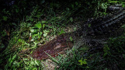 Florida crea un criadero falso de aligátores para atrapar a cazadores furtivos