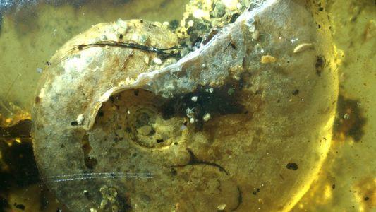 Esta antigua criatura marina quedó fosilizada en ámbar. ¿Cómo lo hizo?