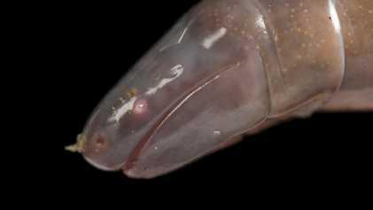 La saliva de las cecilias, unos anfibios con aspecto de gusano, podría ser venenosa