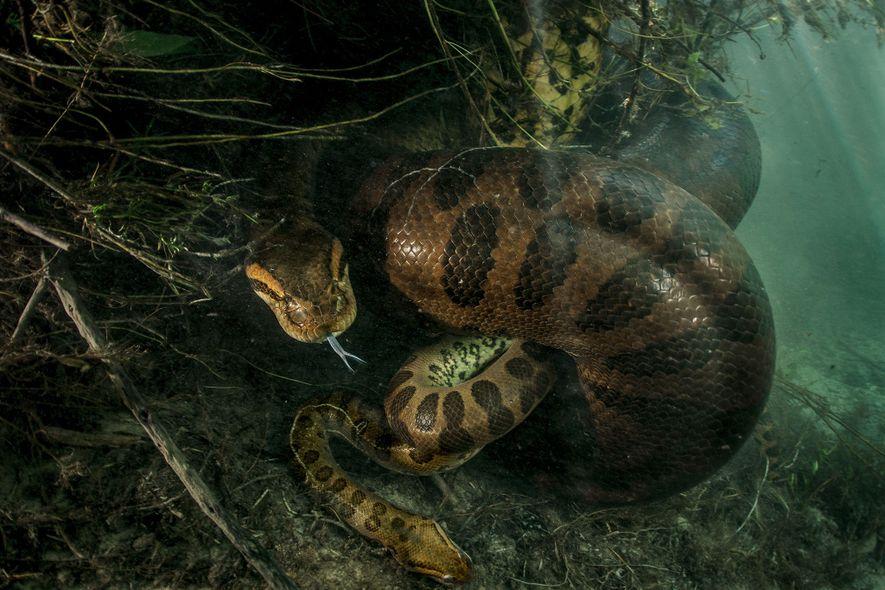 Una anaconda hembra mata a un macho tras aparearse en Brasil.