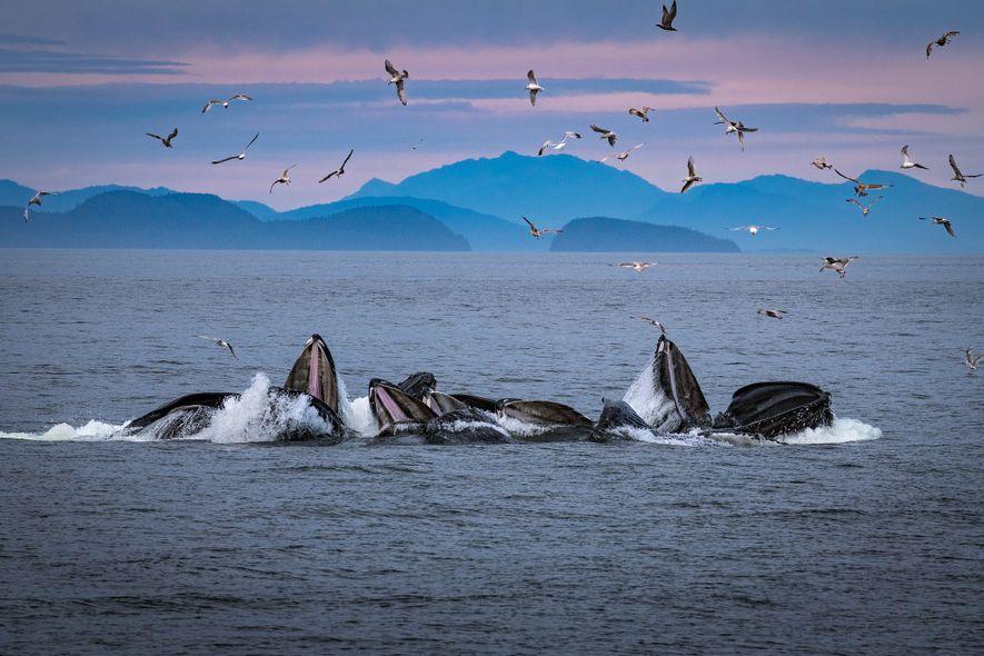 Las ballenas jorobadas crean redes de burbujas en Alaska, donde su conducta se observa y estudia ...