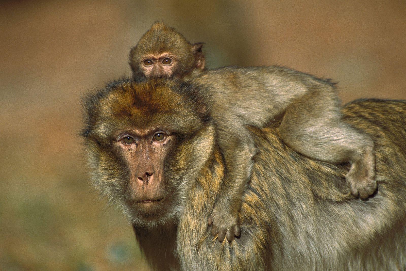 Macaco de Berbería