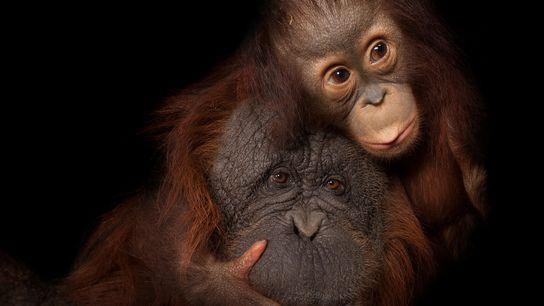 Una cría de orangután con su madre