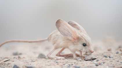 Este animal tiene las orejas más grandes del mundo (proporcionalmente)