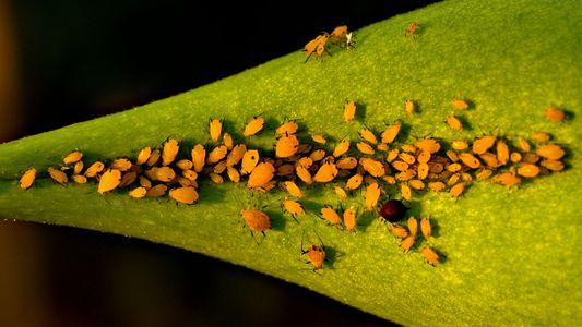 El insecto que nace «prácticamente embarazado» y otros animales con una madurez sexual temprana