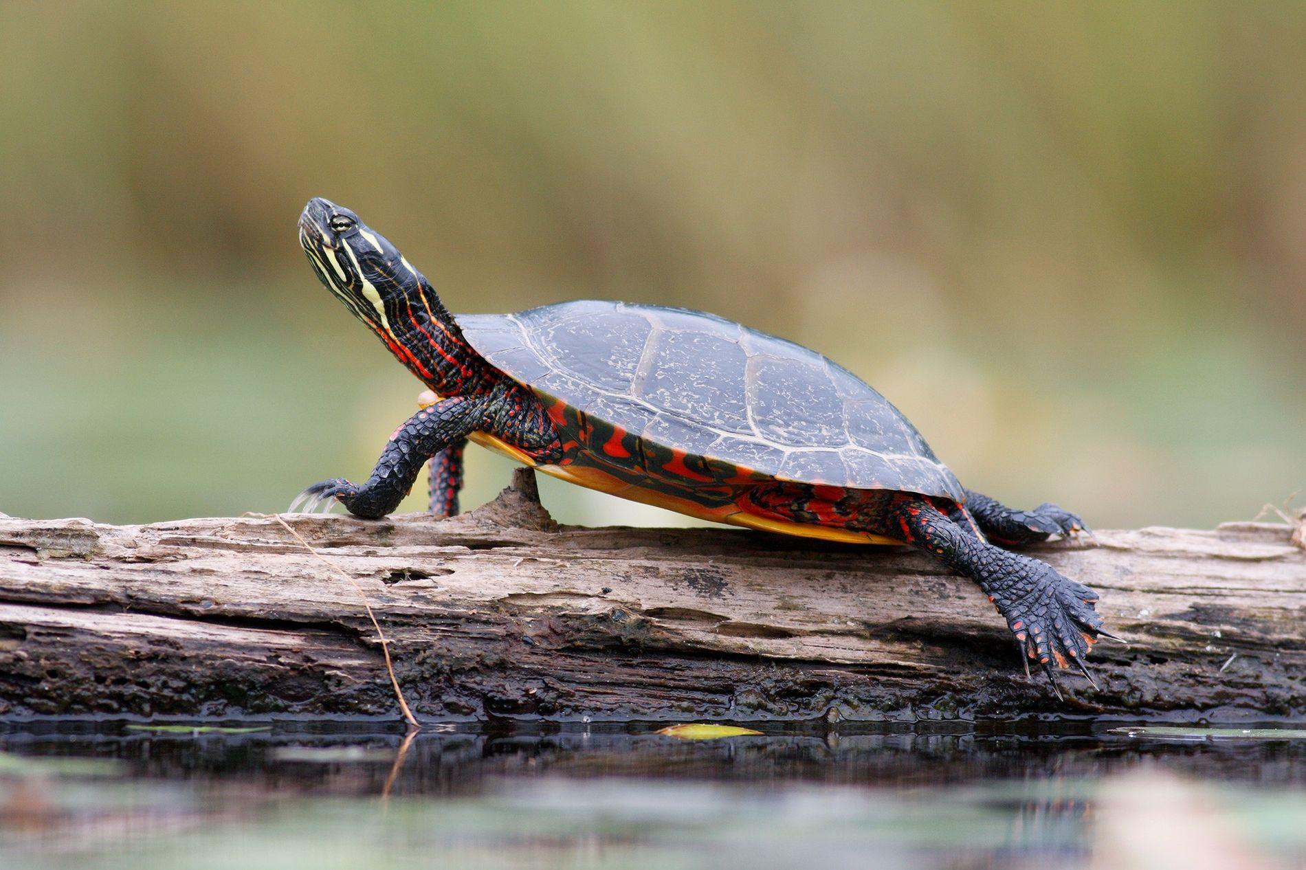Una tortuga pintada toma el sol en un tronco del lago West Stoney, Nueva Escocia.