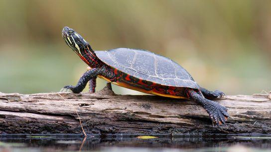 Una tortuga pintada