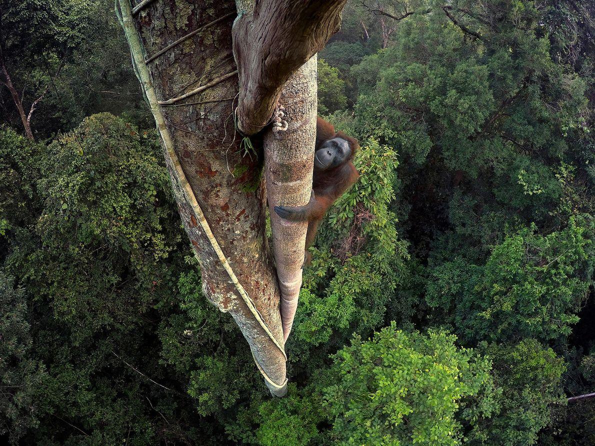 Tentado por la fruta de una higuera estranguladora, un orangután de Borneo escala 30 metros hasta …