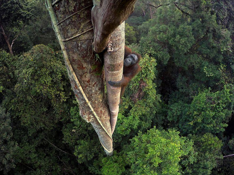 Tentado por la fruta de una higuera estranguladora, un orangután de Borneo escala 30 metros hasta ...