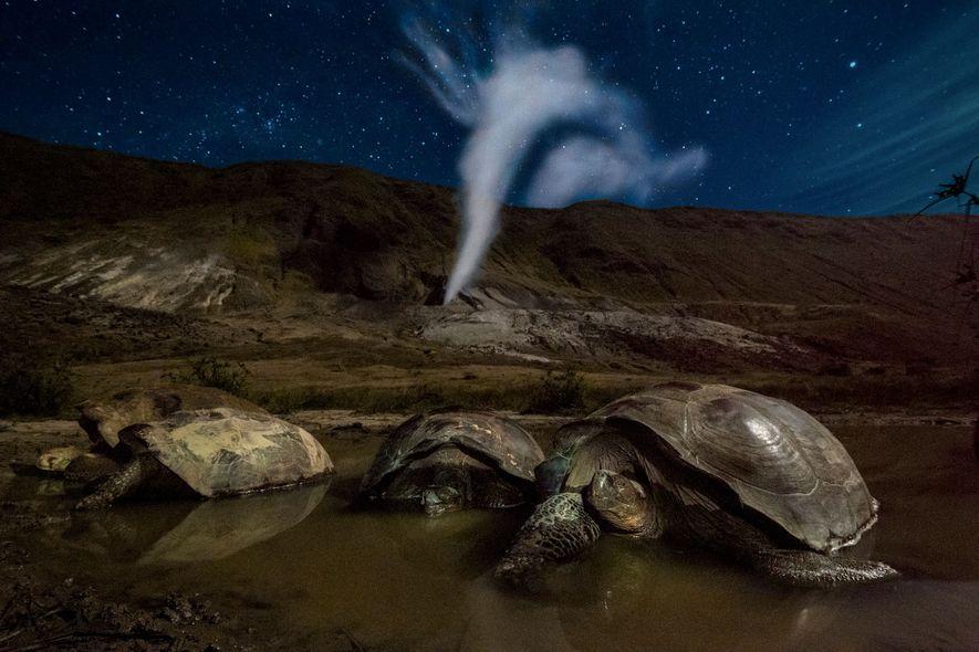 Tortugas gigantes de Floreana, Geochelone vandenburghi, descansando en una piscina de barro en el cráter del …