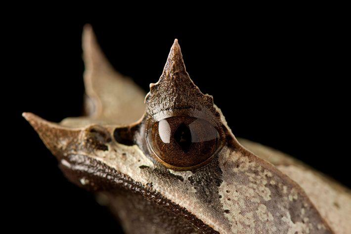 Rana cornuda malaya