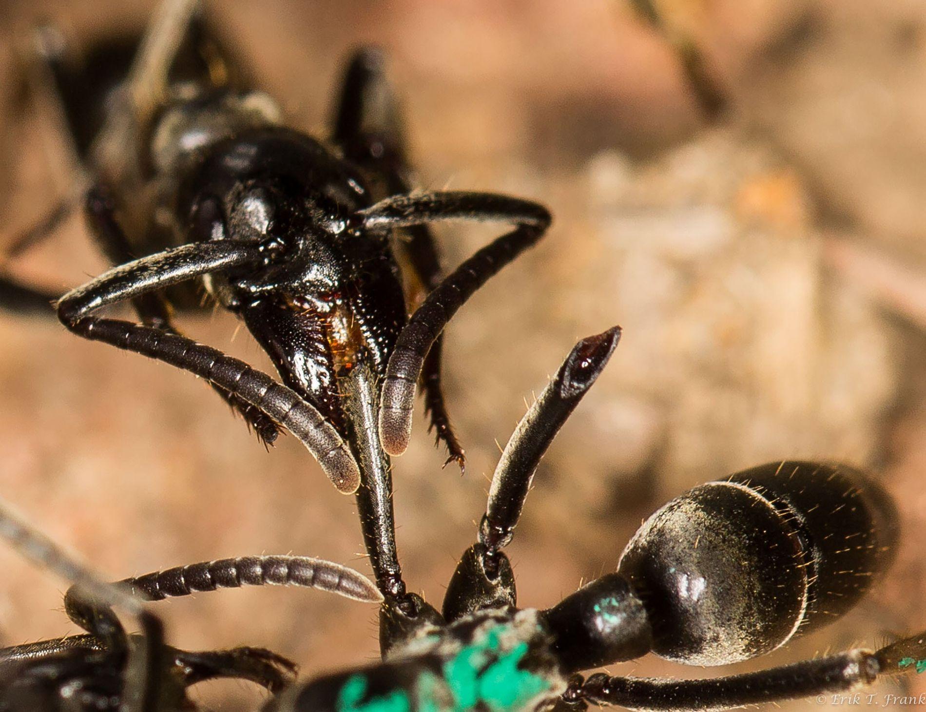 Hormigas paramédicas