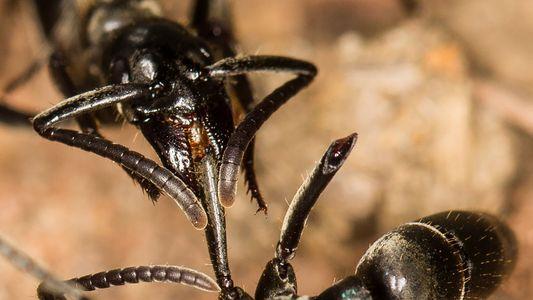 Estas hormigas «paramédicas» socorren y curan a sus camaradas heridas en batalla