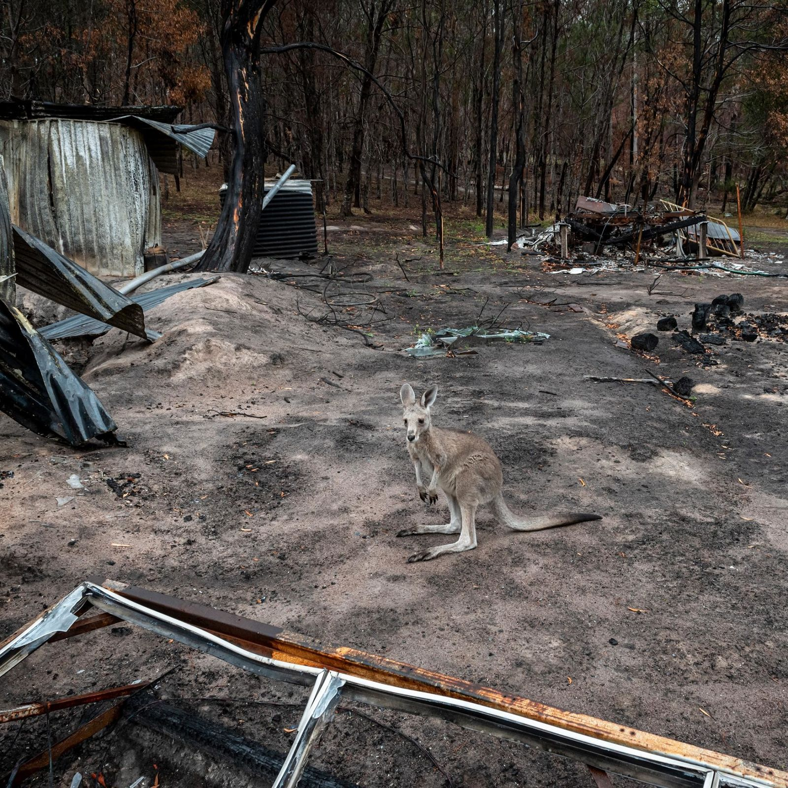 Koalas, wómbats y otros marsupiales tienen dificultades para recuperarse de los incendios de Australia
