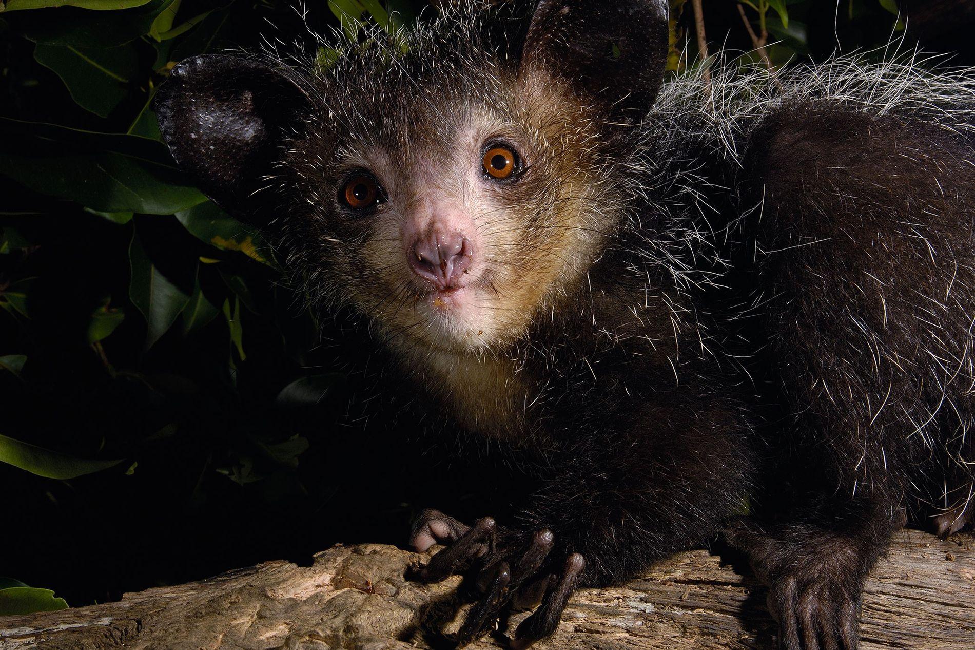 Los ayeayes tienen una mezcla de rasgos peculiares: orejas enormes, colas peludas, dientes similares a los de un roedor y un cuarto dedo larguísimo que utilizan para arrancar gusanos de los árboles.