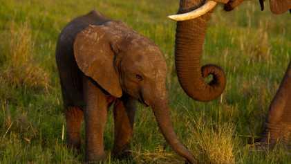 CITES restringe la captura de elefantes africanos silvestres para venderlos a zoos