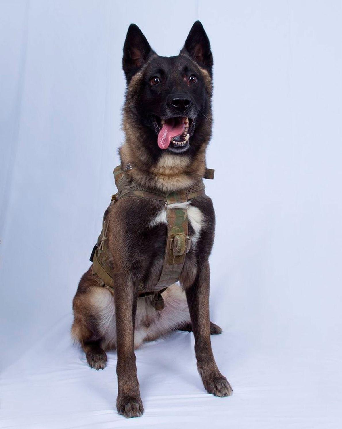 La dureza del adiestramiento de perros militares y por qué Conan es un héroe americano